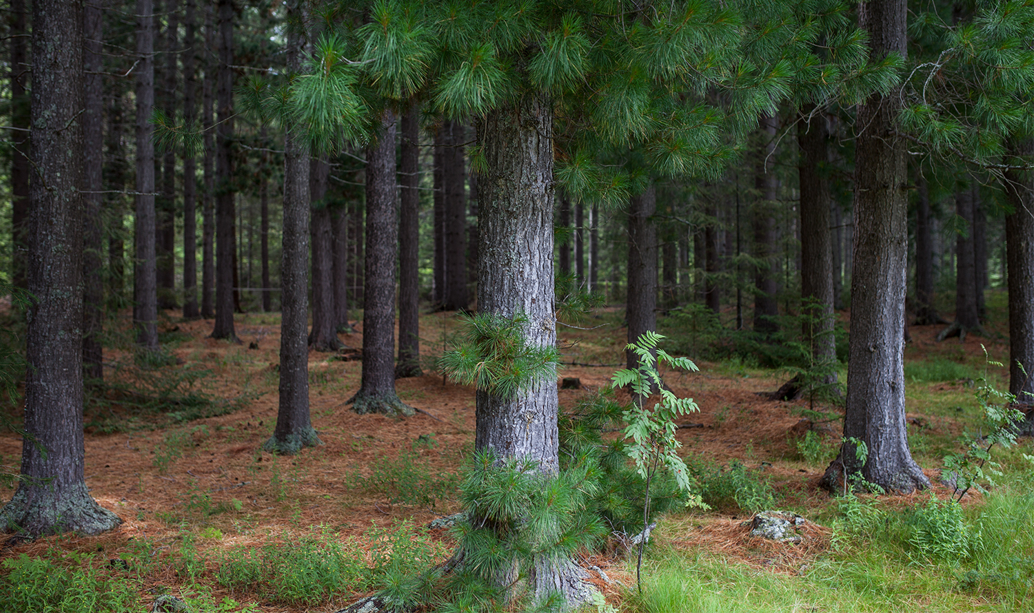 Pine forest - nearby